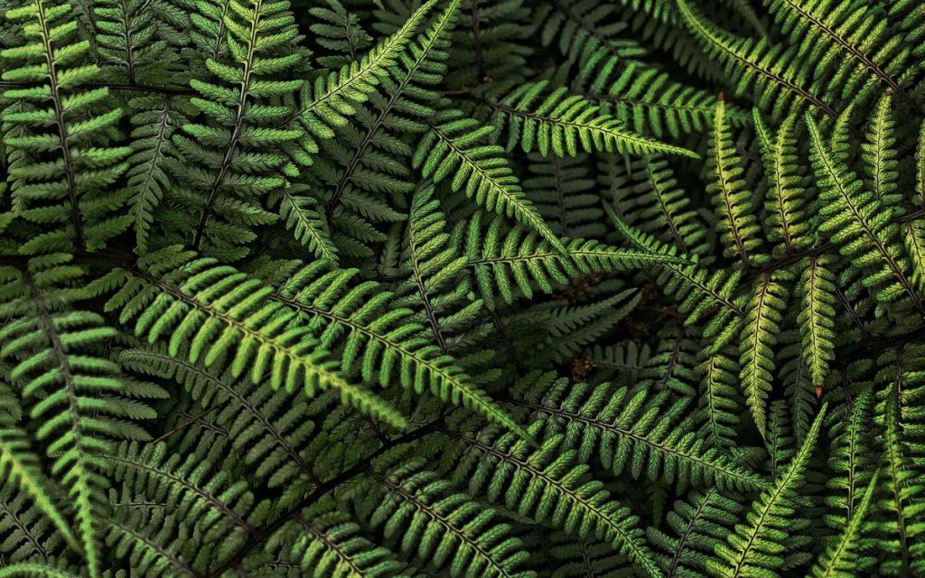 Символічна рослина свята - папороть