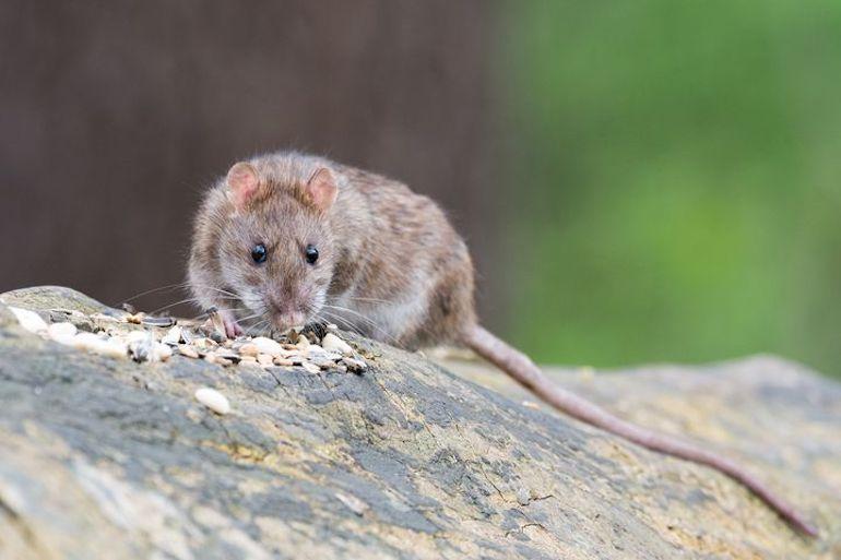 Пацюк їсть зернятка