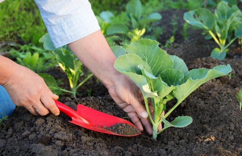 Коли треба садити капусту в 2020 році в городі