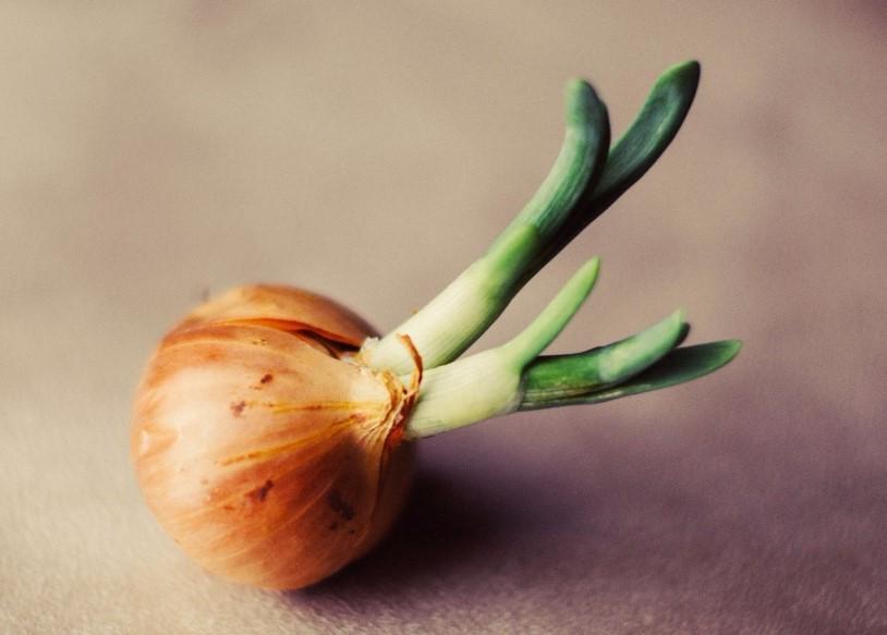 Пророщена цибулина на городі