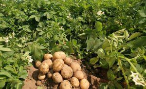 Посадка картоплі в 2020 році: календар