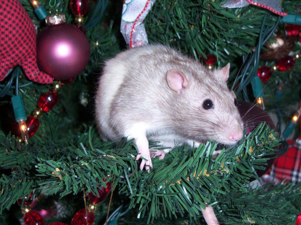 Пацюк лазить по новорічній ялинці