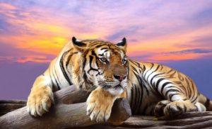 Картинки та малюнки з Тиграми на Новий рік 2022