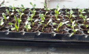 Коли садити однорічні жоржини на розсаду в 2021 році