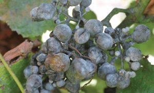 Шкідники і хвороби винограду — фото і опис, чим лікувати, методи боротьби
