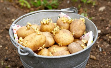 Коли садити картоплю в 2021 році за місячним календарем