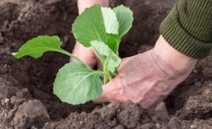 Коли садити капусту на розсаду за місячним календарем у 2021 році