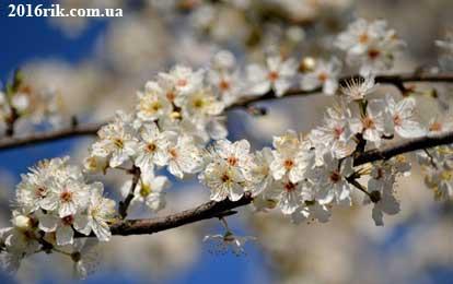 Весна 2017 - цвітіння дерев